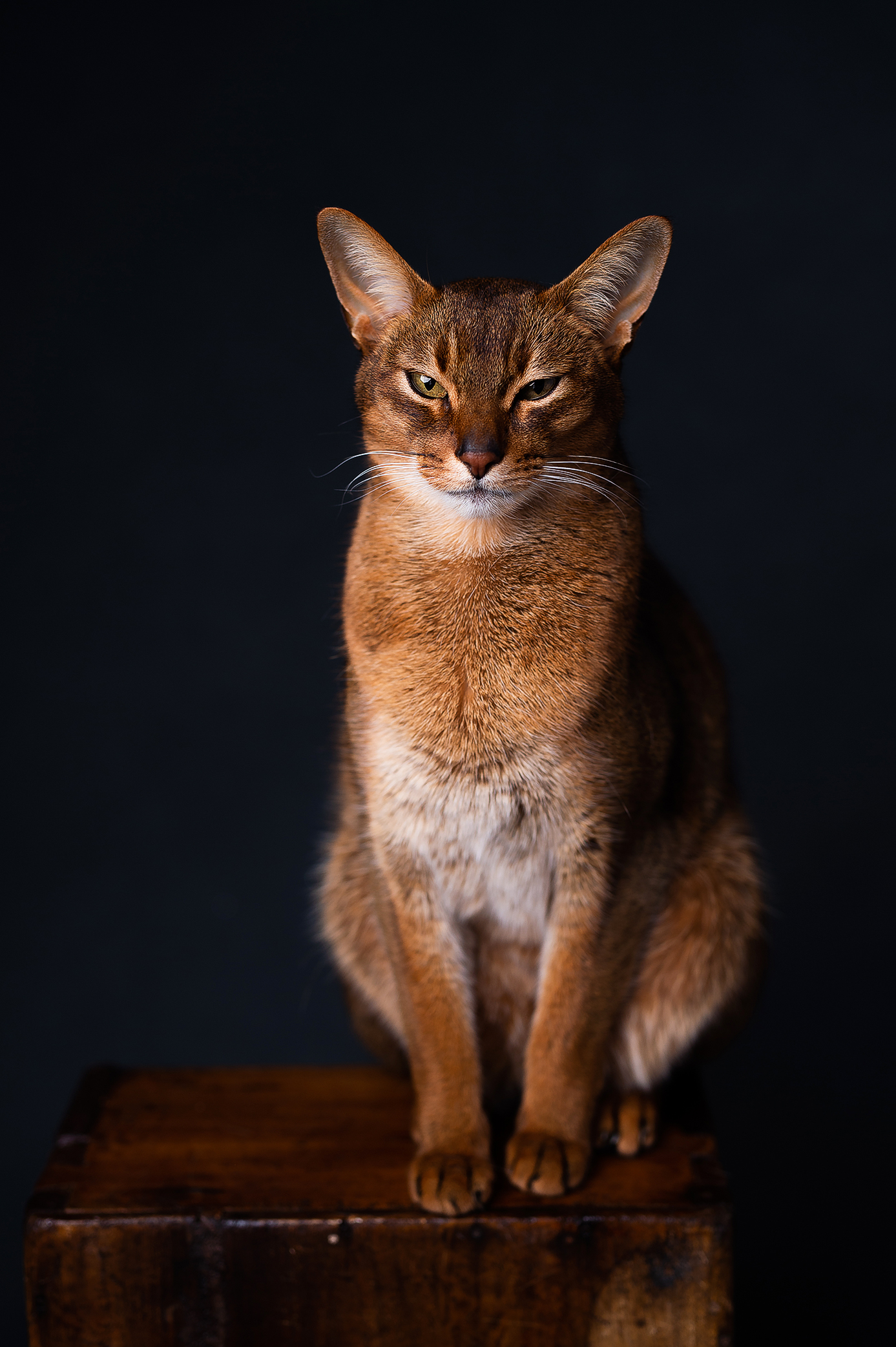 Abyssinian cat looking straight to the camera