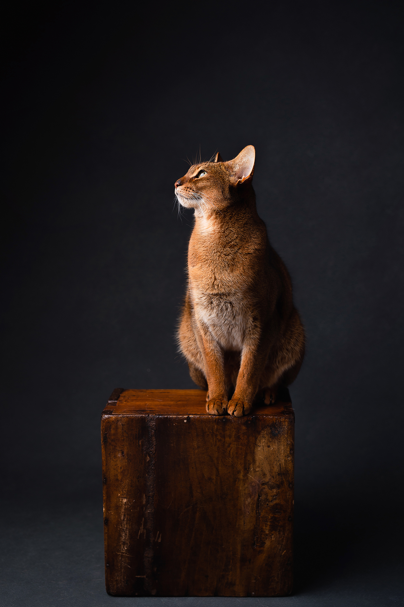 Abyssinian cat on the wooden box looking towards the light