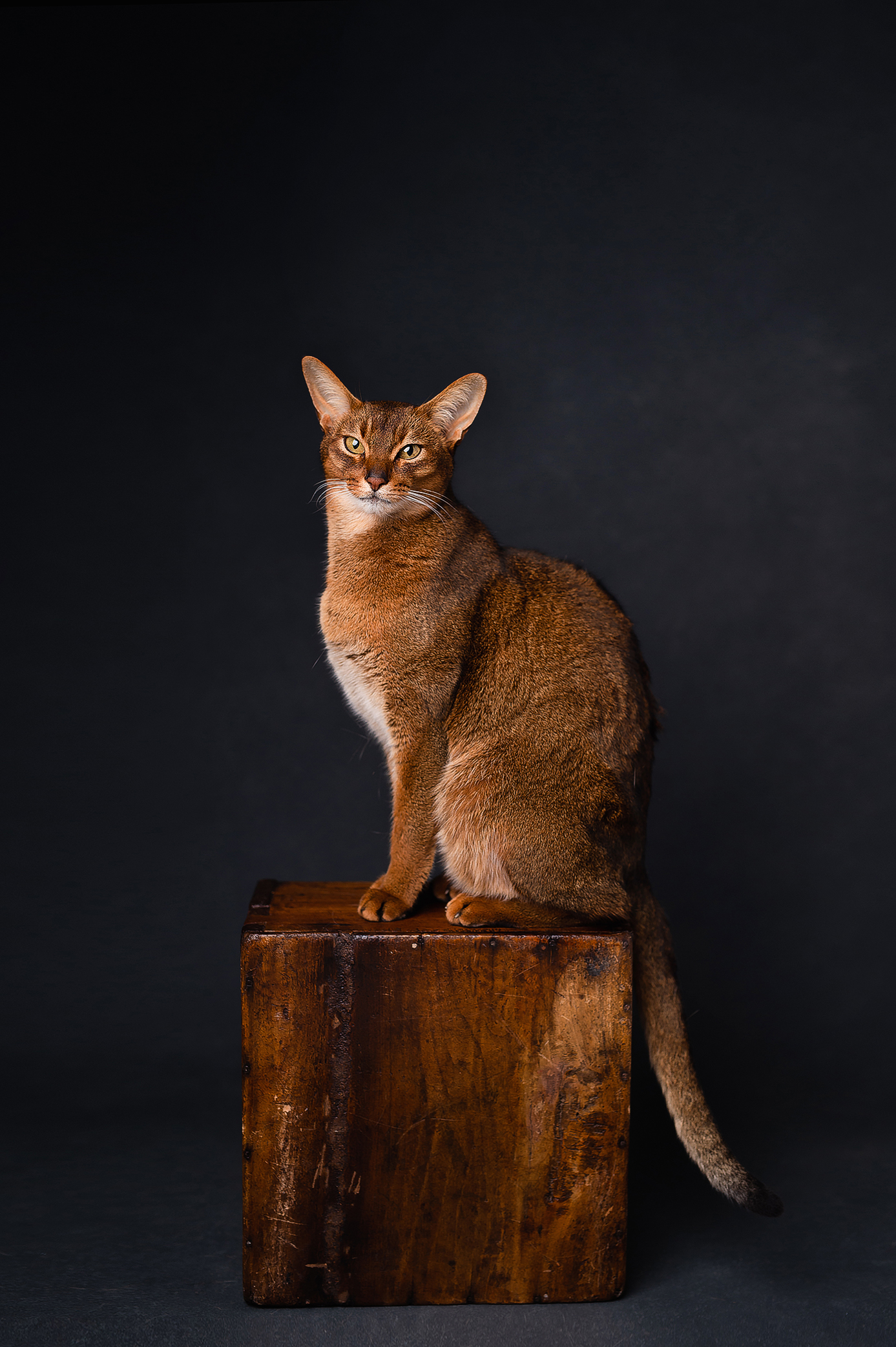 Abyssinian cat on the wooden box