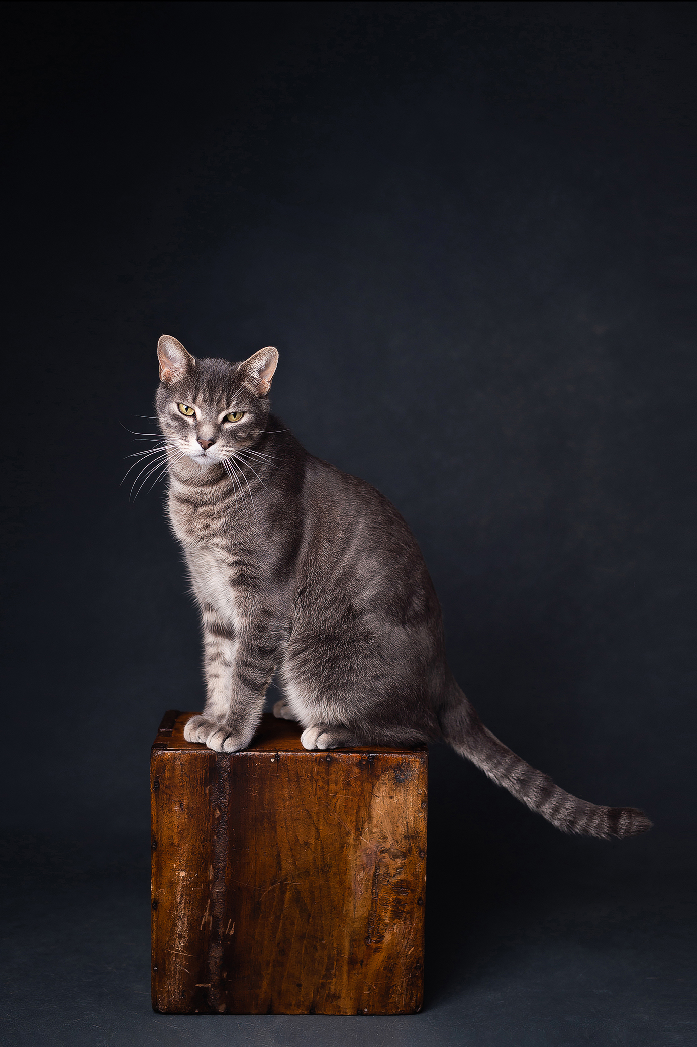 Gray cat in front of the dark background