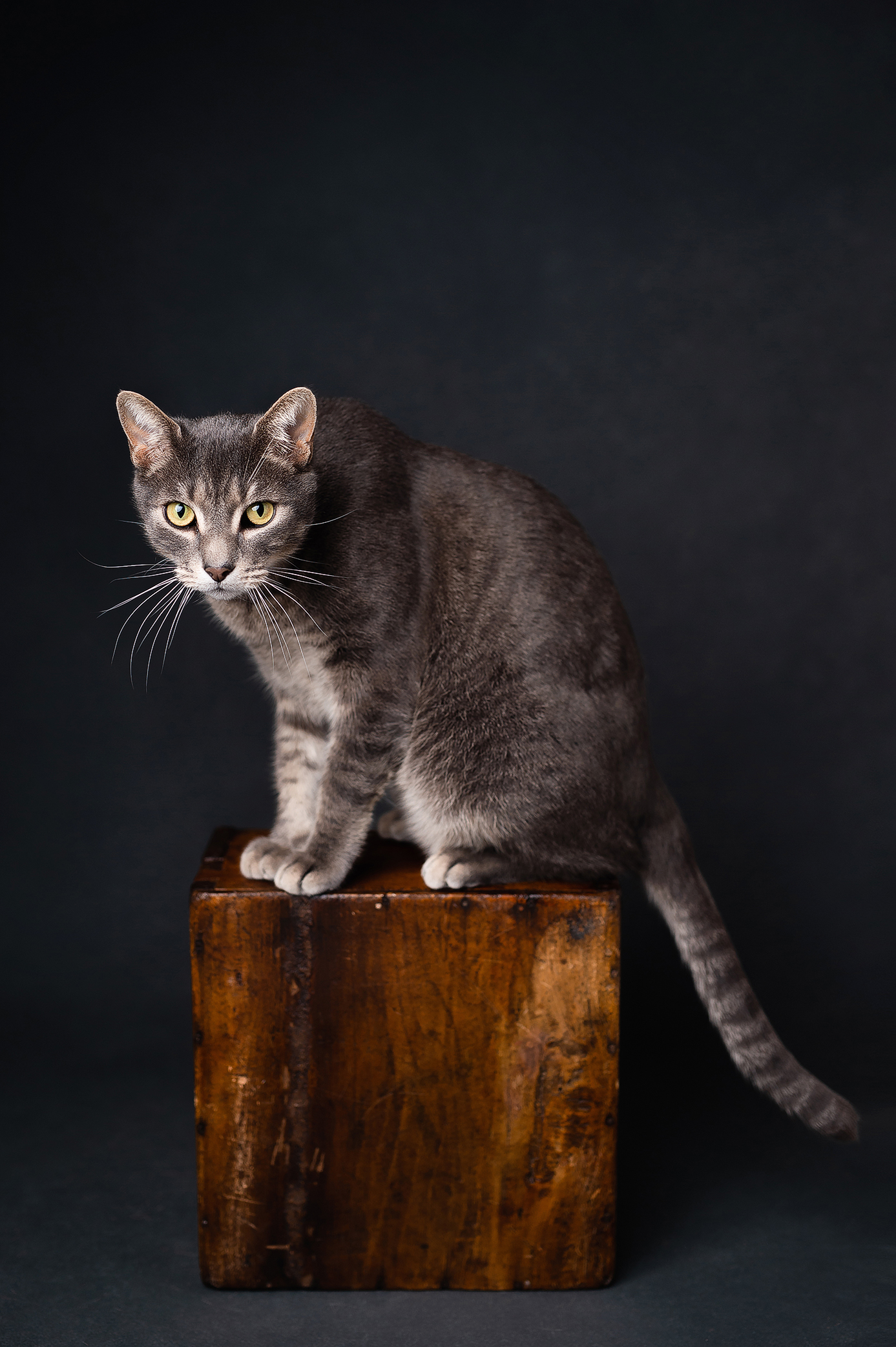 Gray male cat on top of the wooden box