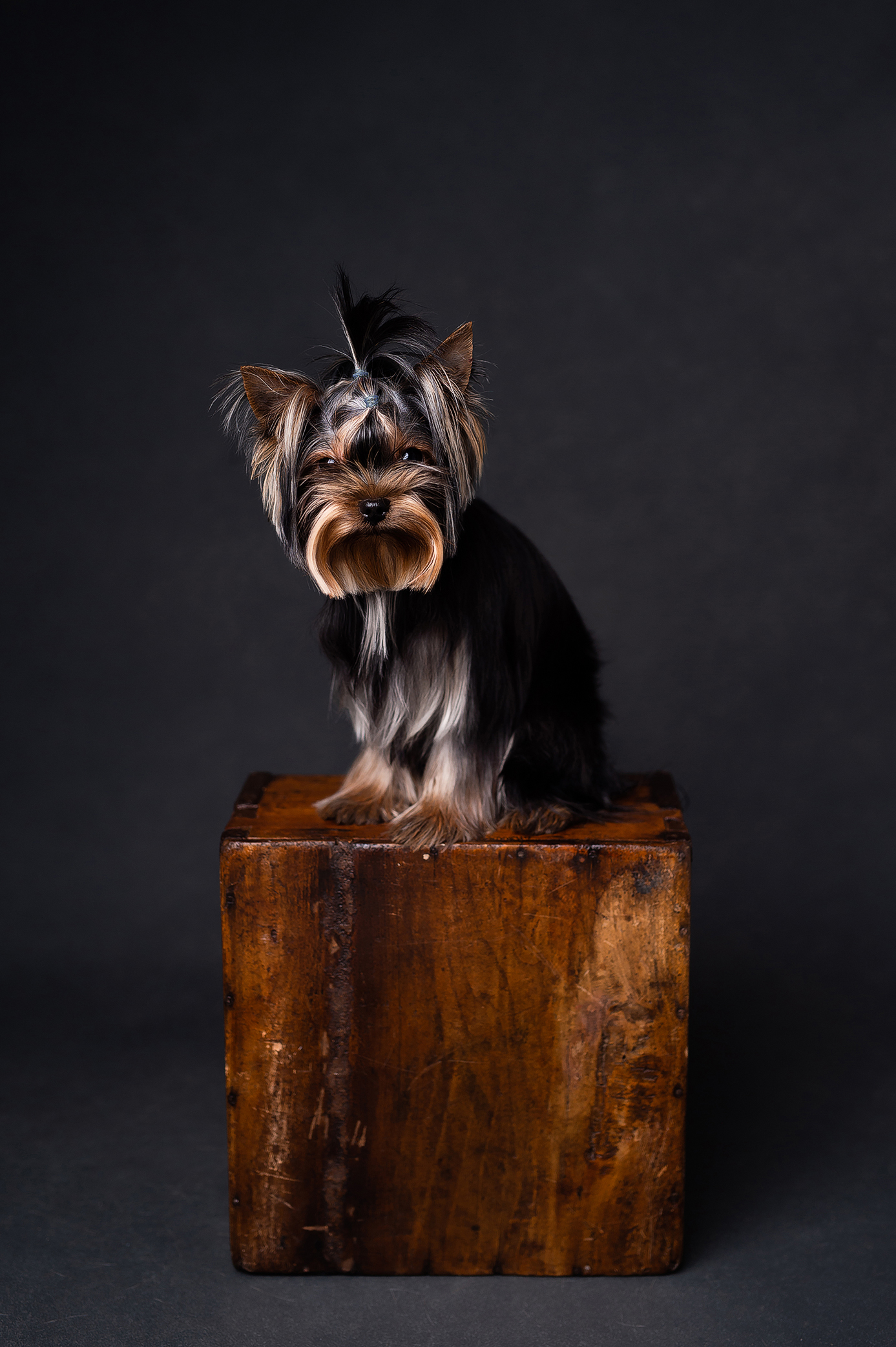 Yorkshire terrier on the wooden box