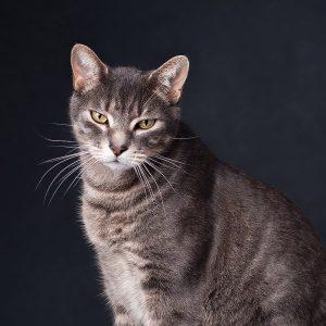 gray street cat looking at the camera